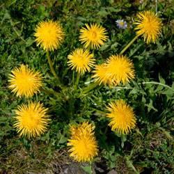 Не в прополку, а в тарелку – первые съедобные дикорастущие растения