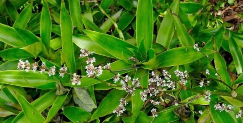 Золотой ус: лечебные свойства и противопоказания, отзывы, выращивание, применение в народной медицине