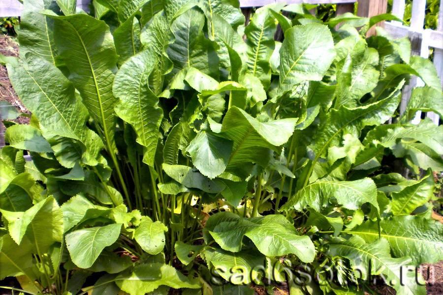 Хрен: выращивание и уход в открытом грунте