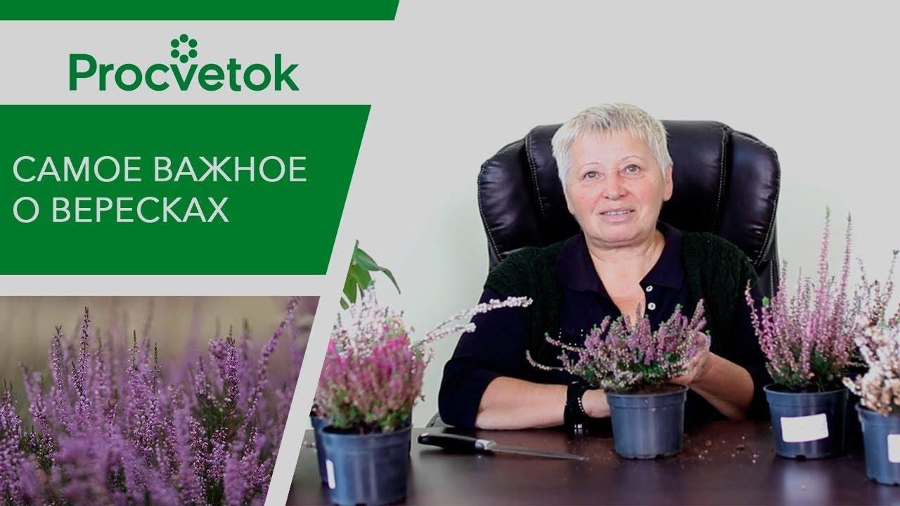 Комнатный вереск: размножение семенами и выращивание в домашних условиях
