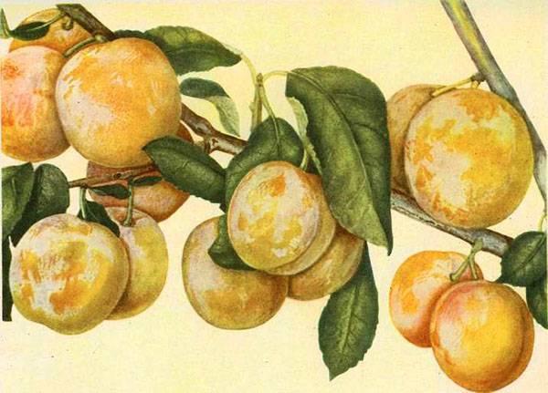Слива персиковая – редкая гостья в наших садах