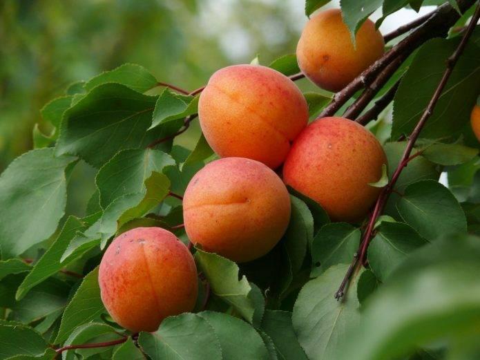 """Прививки плодовых деревьев: правила и тонкости садовой """"хирургии"""""""