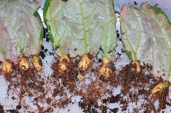 Как правильно выполняется размножение глоксинии