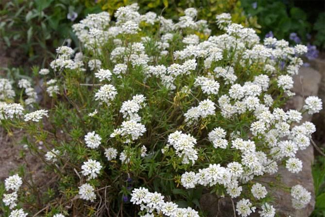 Выращивание ибериса в саду: живое цветочное покрывало под вашими окнами