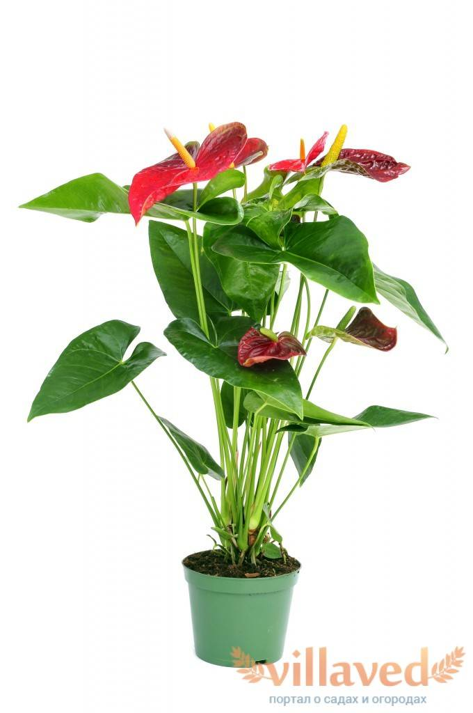 Как вырастить антуриум из черенка в домашних условиях? все о вегетативном способе размножения цветка