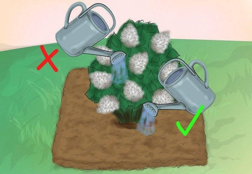 Почему сохнут листья гортензии: причины и способы устранения проблем