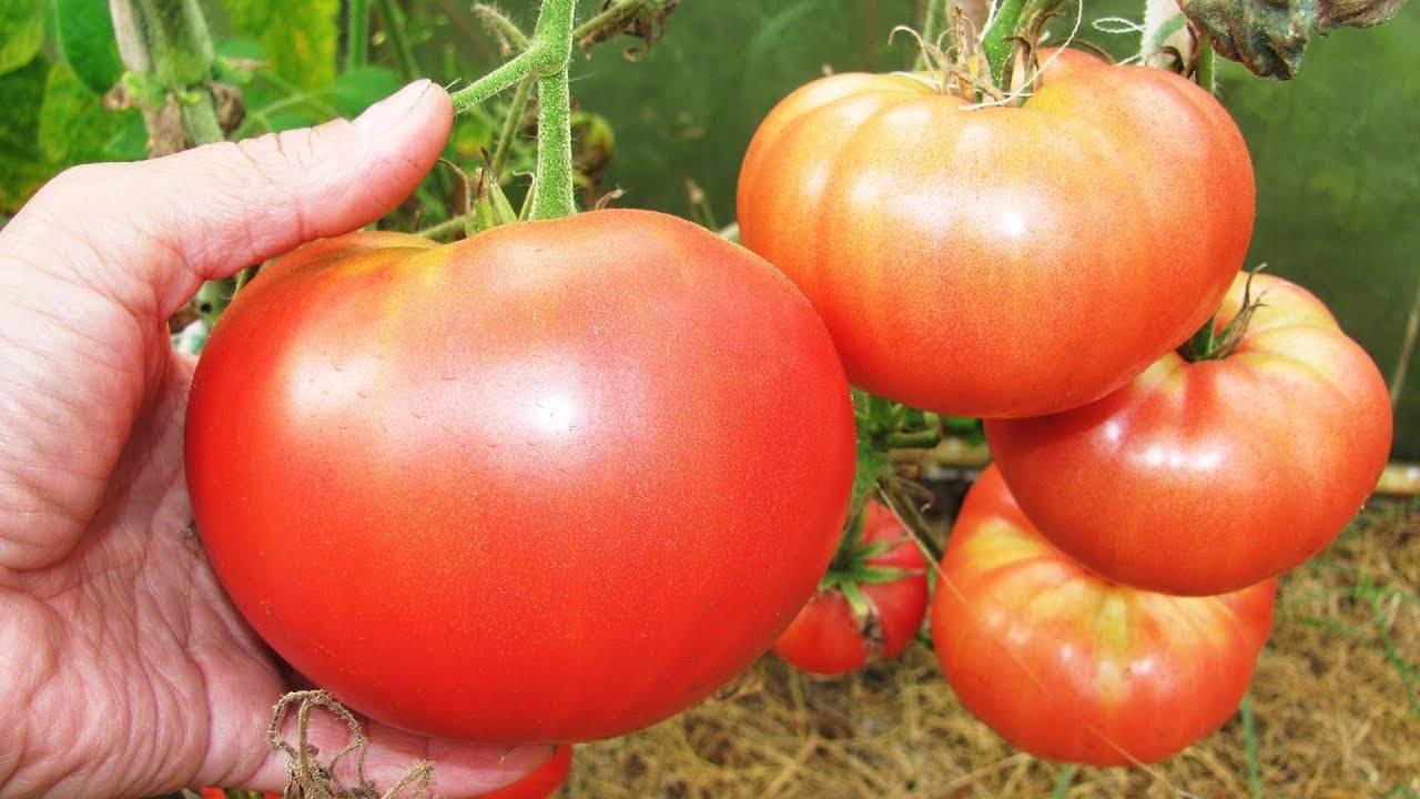 Правила выращивания томатов в открытом грунте, выбор сорта, посадка и уход