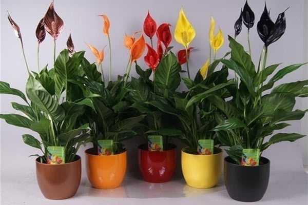 Причины, почему у спатифиллума зеленеют цветы, что делать