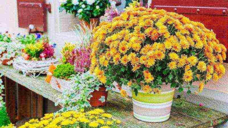 Хризантема в горшке — уход в домашних условиях