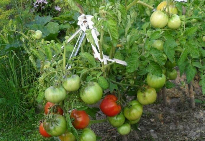 Сорт томатов «дубрава» или «дубок»