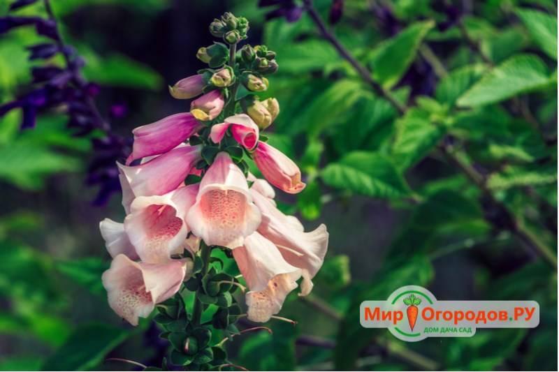 Наперстянка крупноцветковая: описание, посадка и уход