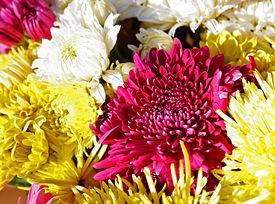 Хризантемы: выращивание из семян, посадка и уход в саду