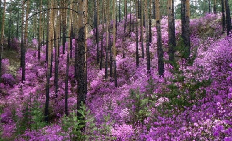 Рододендрон даурский посадка и уход, фото растения