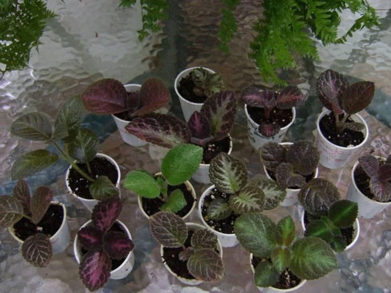 Эписция — уход в домашних условиях и разновидности растения