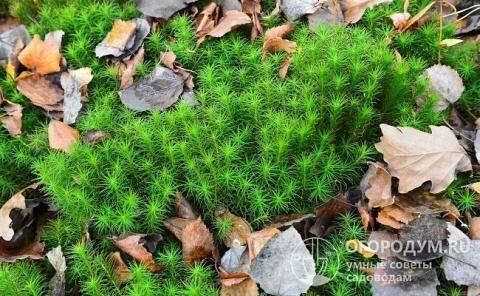 Мох на участке – как избавиться и вывести мох на садовом участке
