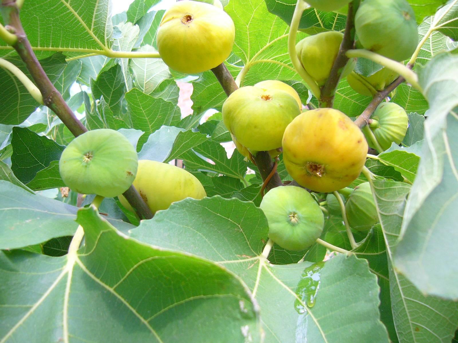 Выращиваем инжир: два способа размножения фигового дерева