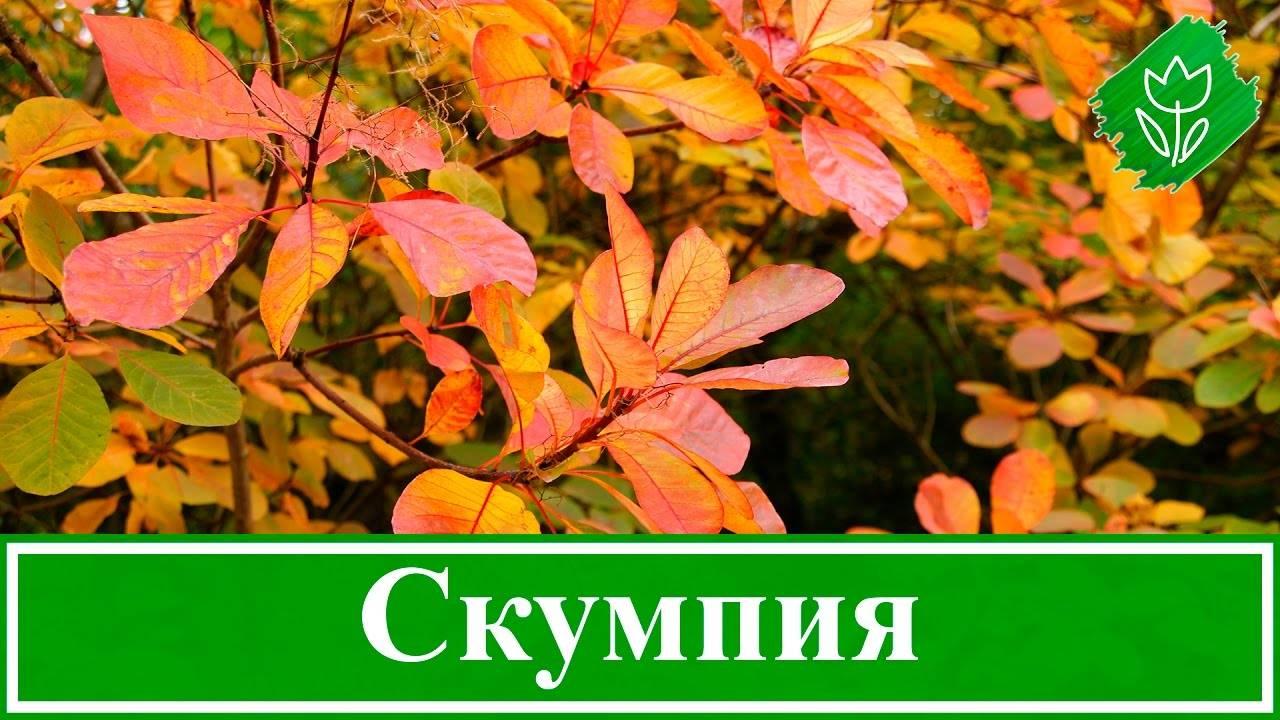 Скумпия – посадка и уход, виды и сорта