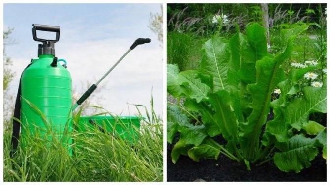 Хрен: посадка и уход в открытом грунте, выращивание из семян