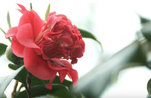 Камелия садовая — посадка и уход в открытом грунте