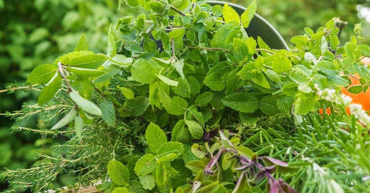 Ревень: особенности выращивания в открытом грунте