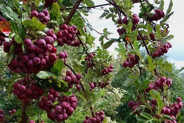 Рябина обыкновенная: фото, посадка и уход, условия выращивания, размножение черенками и полезные свойства плодов