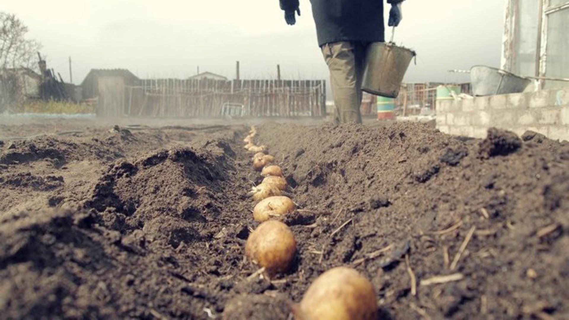Самые эффективные разновидности удобрений для картофеля