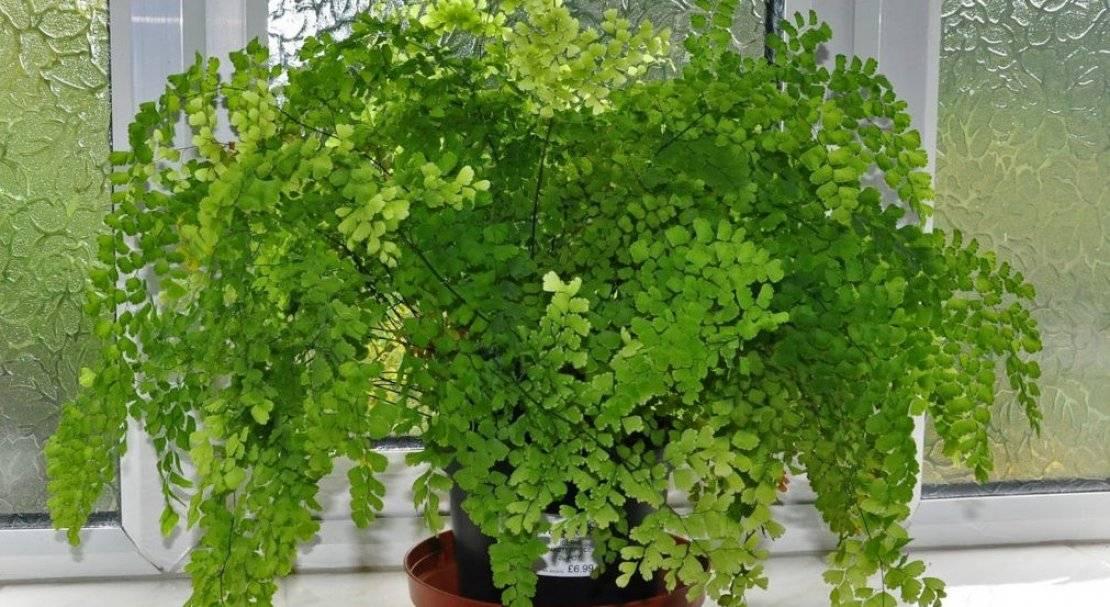 Адиантум венерин волос: выращивание уход за цветком в домашних условиях