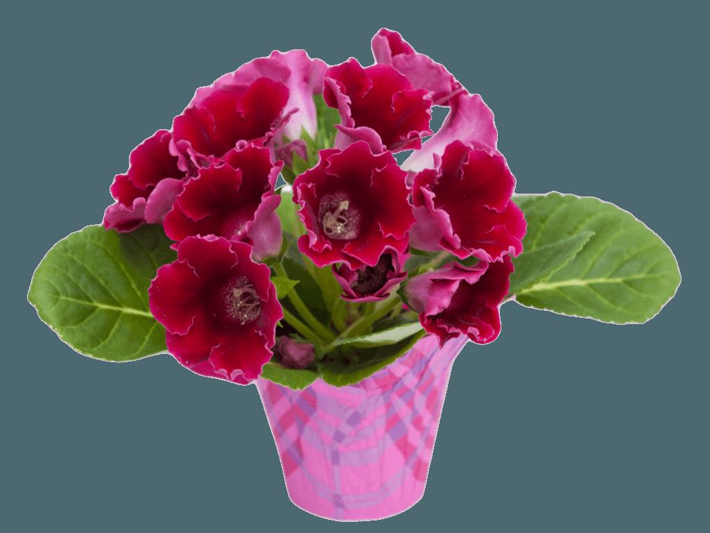 Выращивание глоксинии из семян