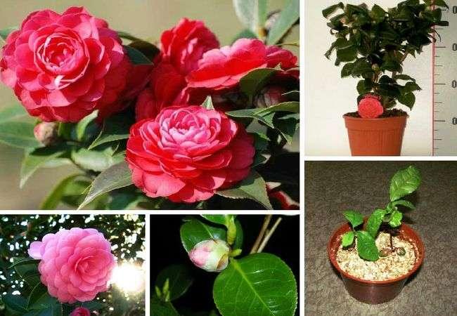 Камелия (camellia japonica). уход и размножение в домашних условиях.