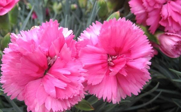 Гвоздика садовая многолетняя: уход и выращивание в открытом грунте.