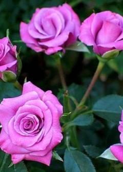 6 самых красивых фиолетовых и сиреневых сортов роз