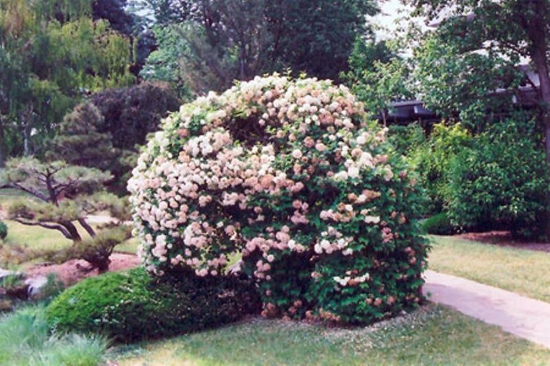 Бульденеж — кустарник для сада калина бульденеж