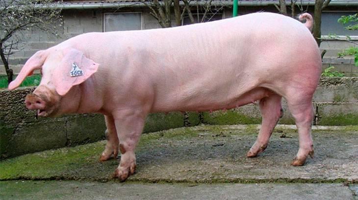 Свиньи ландрас: характеристика породы, содержание и разведение