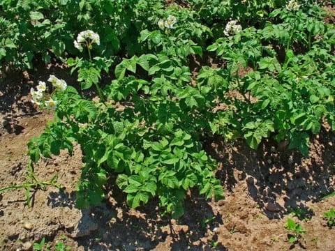 Выбираем культуры для посадки после картофеля