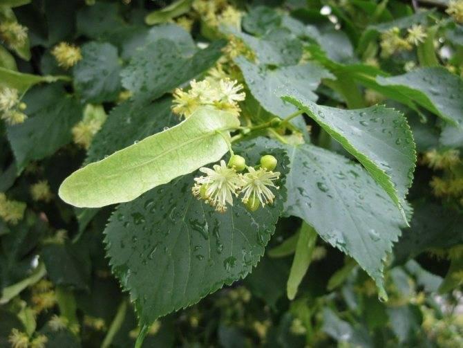 Полезные свойства липы или чем поможет дерево-долгожитель