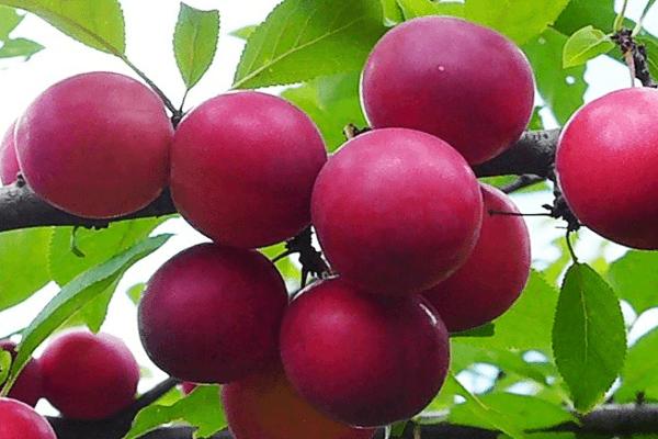 Особенности алычи сорта царская и ее выращивание