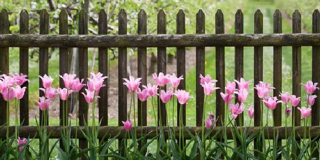 Топинамбур, выращивание на даче