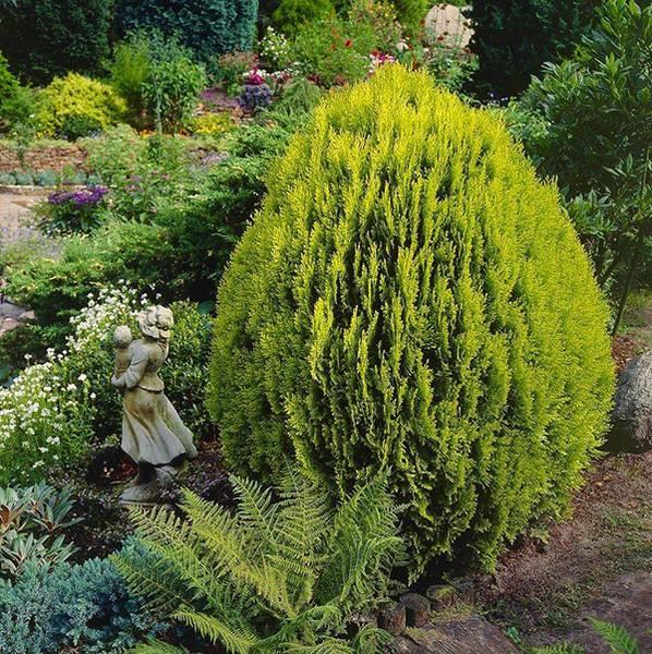 Туя ауреа нана — «дерево жизни», привлекающее «золотыми» иголками