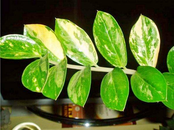 Замиокулькас: размножение в домашних условиях