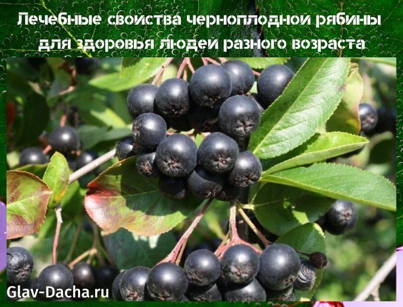 Черноплодная рябина: полезные свойства и технология выращивания