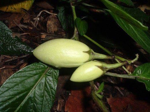 Пепино – дынная груша: полезные свойства, рекомендации по выращиванию