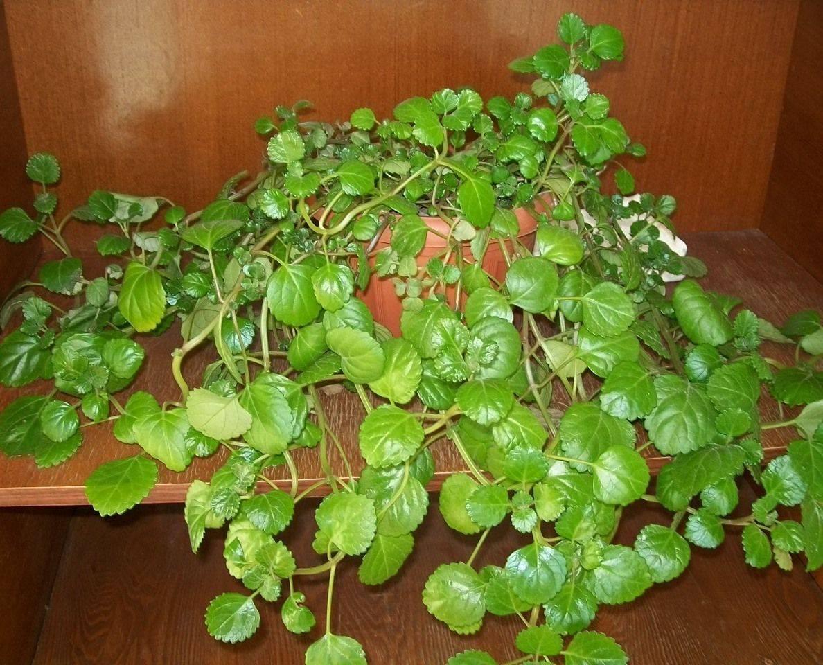 Плектрантус: сорта и виды, выращивание и уход в домашних условиях