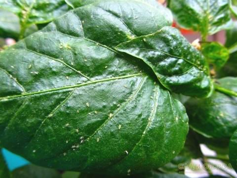 Вредители комнатных растений: виды и способы борьбы