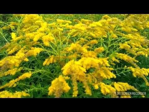 Золотарник или золотая розга: полезные свойства и противопоказания