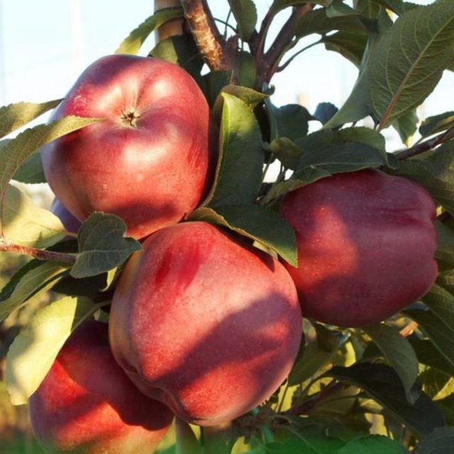 Яблоня «глостер»: описание сорта, фото и отзывы