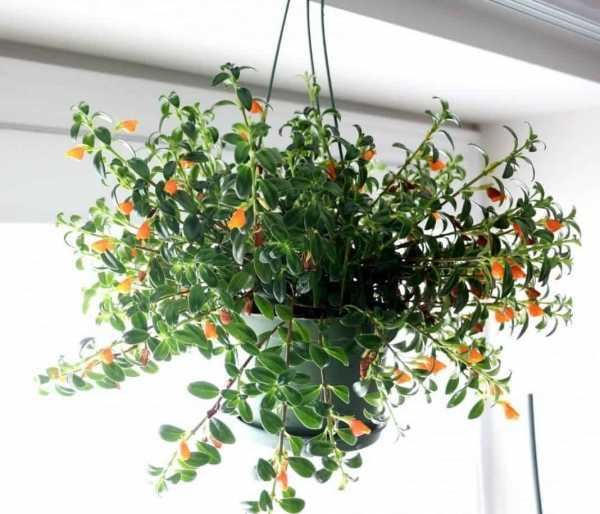 Выращивание экзотического цветка ктенанта в домашних условиях