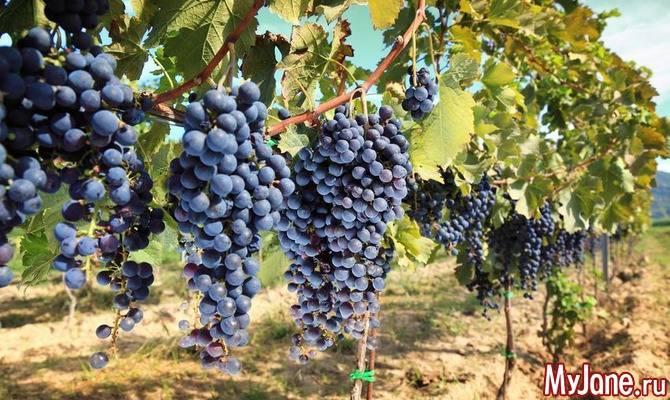 Перспективные, комплексоустойчивые, крупноплодные, ранние сорта винограда