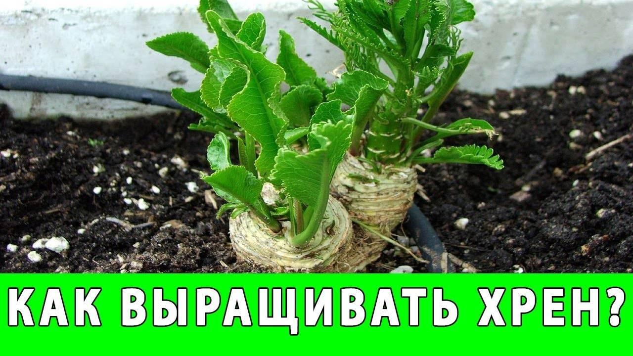 стратификация семян хрена