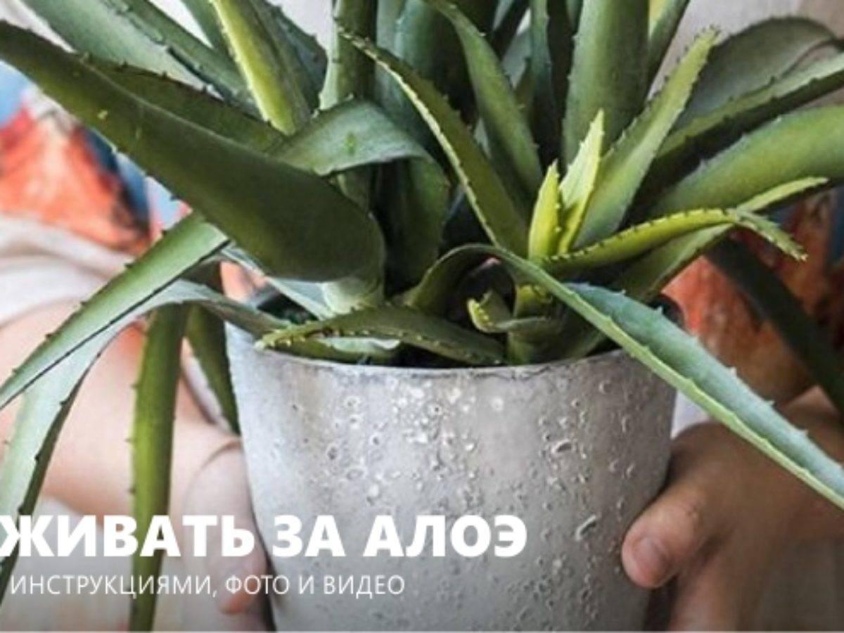 Полезное растение – алоэ вера: правильный уход и народные рецепты