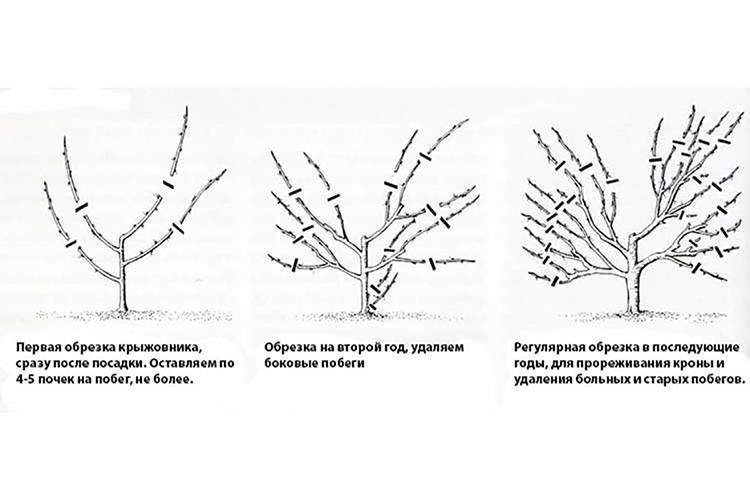 Как обрезать крыжовник весной? виды и пошаговые инструкции